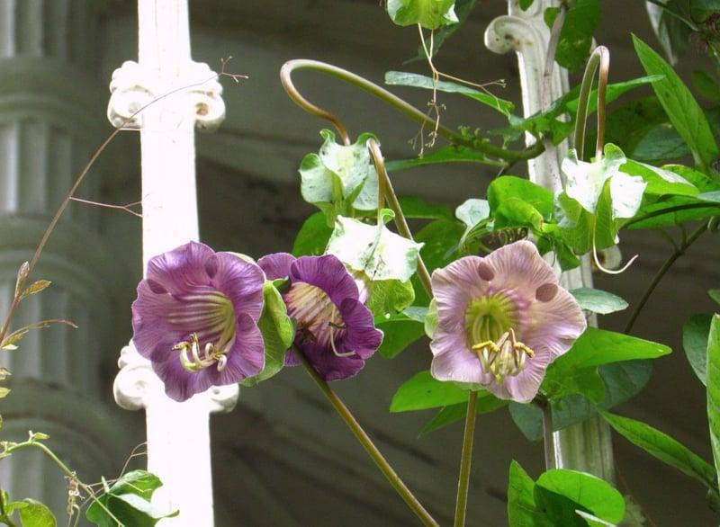 hängende Balkonpflanzen Glockenrebe