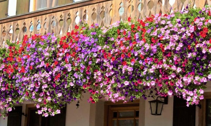 hängende Balkonpflanzen herrlicher Look