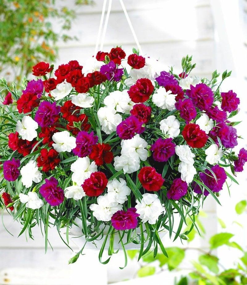 Hängenelken Blumenampel herrlicher Look