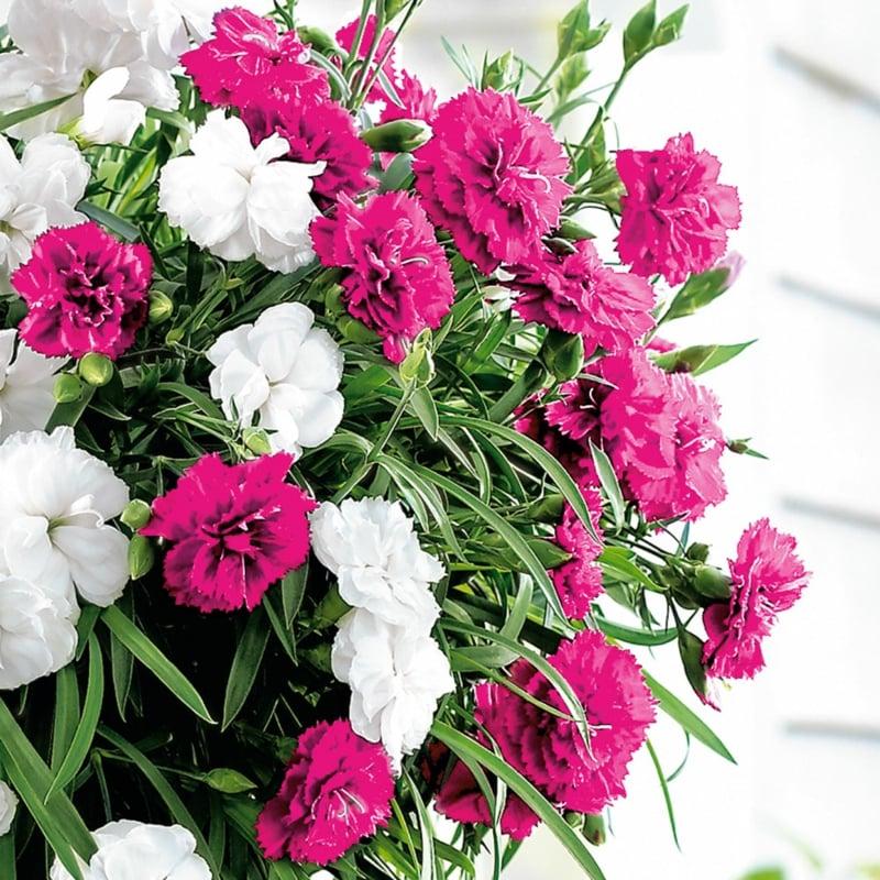 Hängenelken rosa und weiß