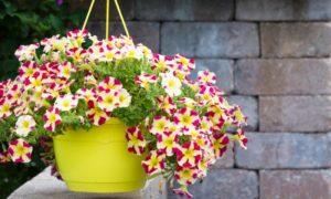 Petunien Blumentopf hängend