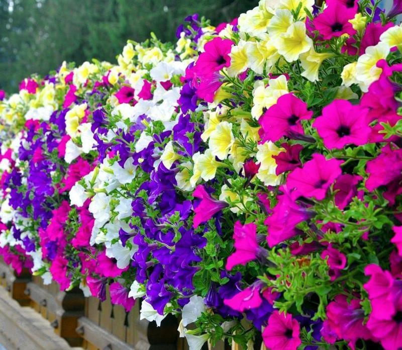 hängende Balkonpflanzen Petunien schöner Look
