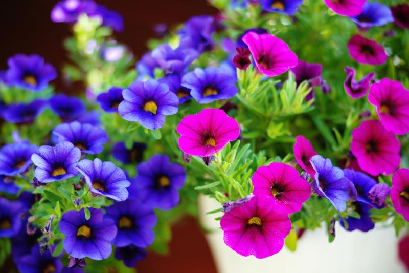 hängende Balkonpflanzen Petunien