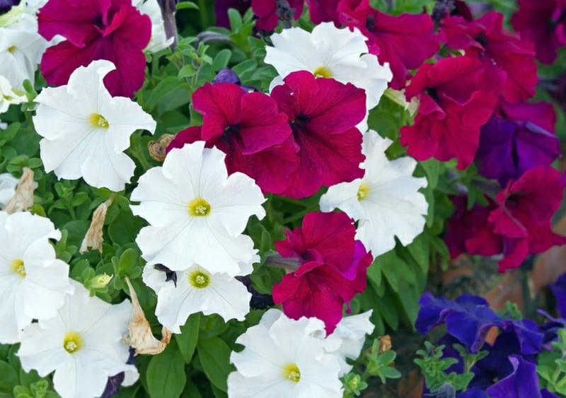 Petunien wunderschöne Blüten
