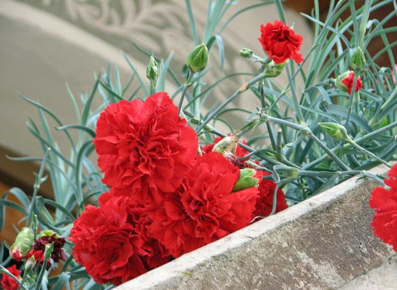 hängende Balkonpflanzen rote Nelken