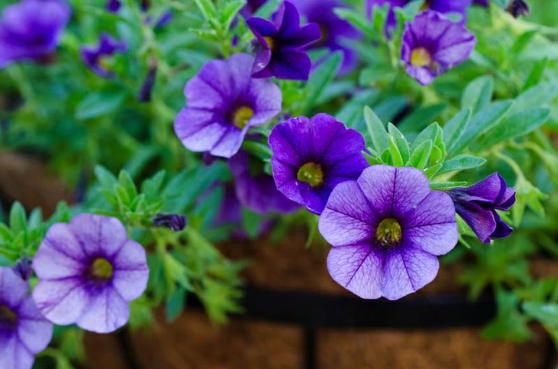 blaue Zauberglöckchen zart