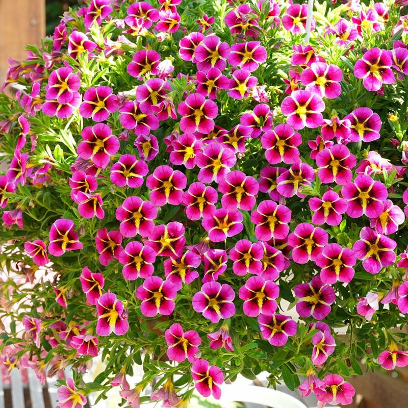 hängende Balkonpflanzen rosa Zauberglöckchen