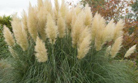 Pampasgras Pflanze