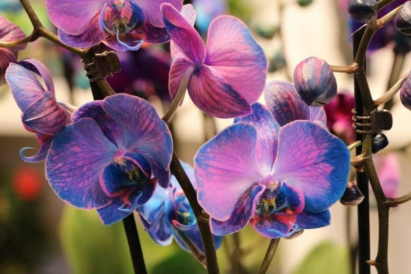 herrliche blaue Orchideen Blumenknospen