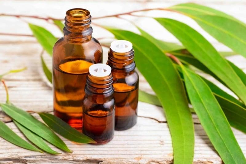 Eukaliptusöl für die Atemwege