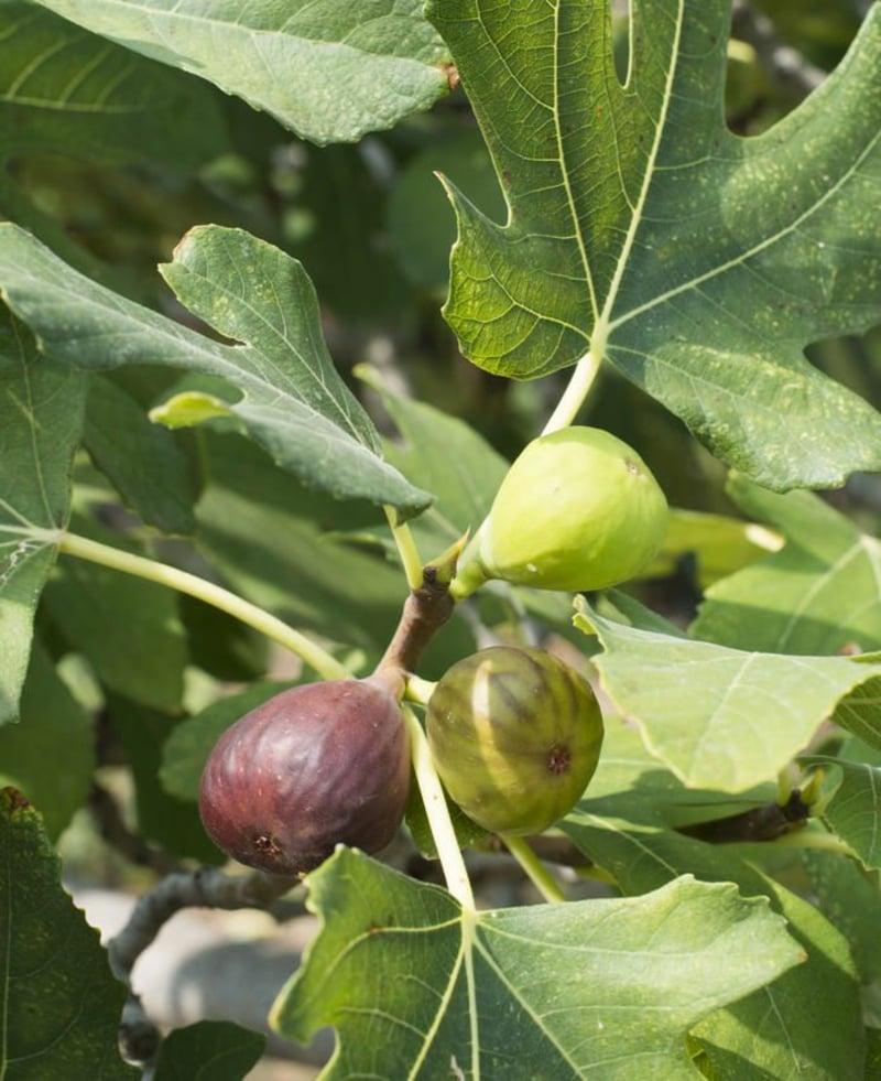 Feigenbaum Ernte