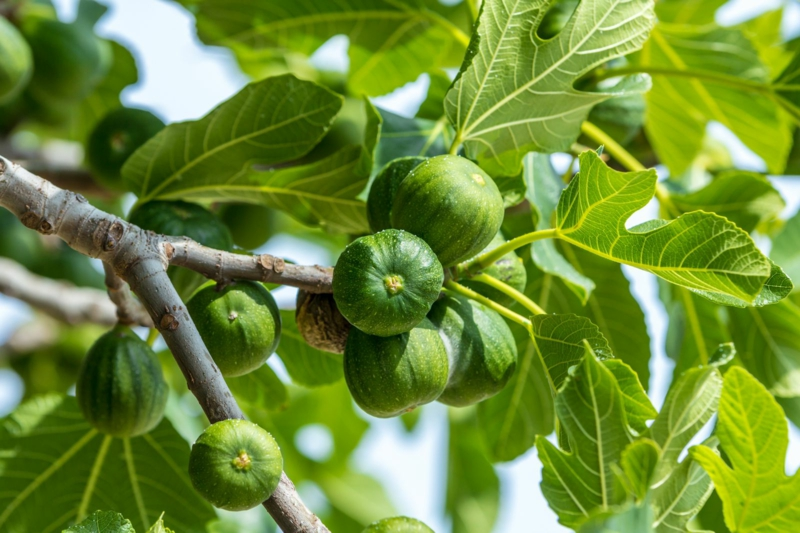 Feigenbaum pflanzen und pflegen