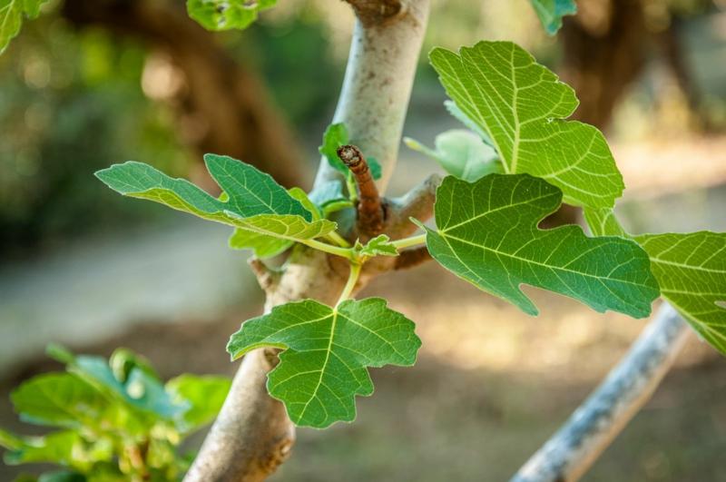 Feigenbaum junge blätter