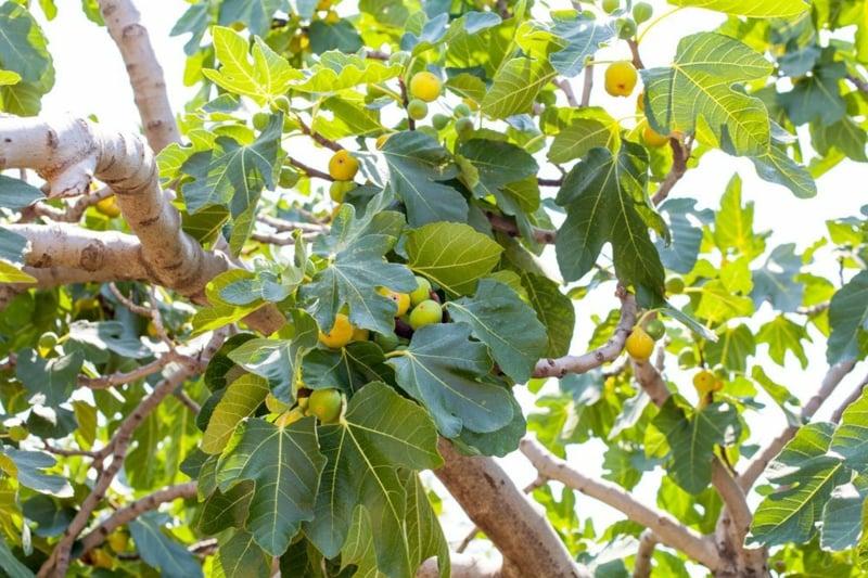 Feigenbaum ernten