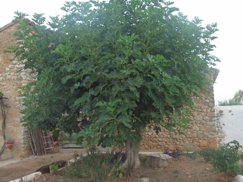 Feigenbaum hoch Garten