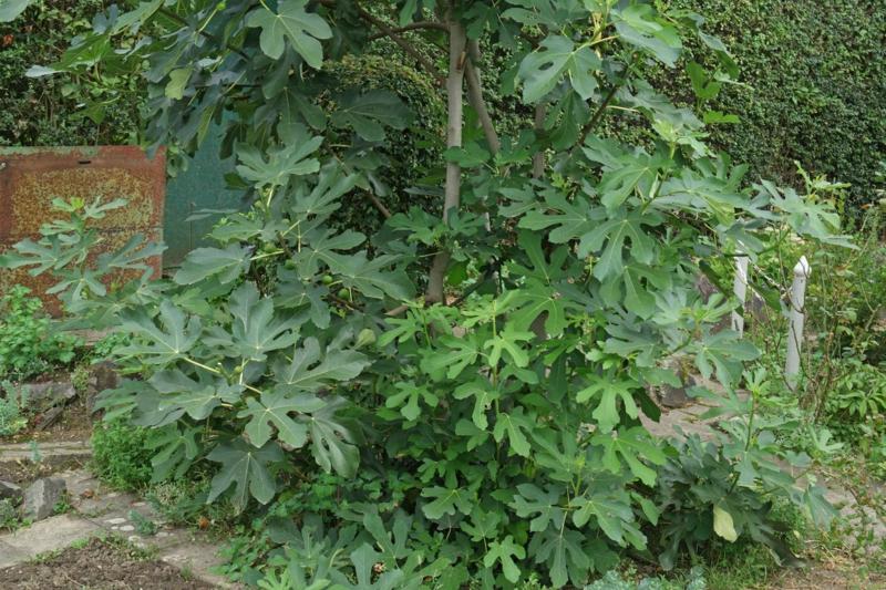 nützliche Pflegetipps Feigenbaum