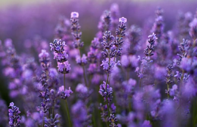 Lavendelöl Stress abbauen