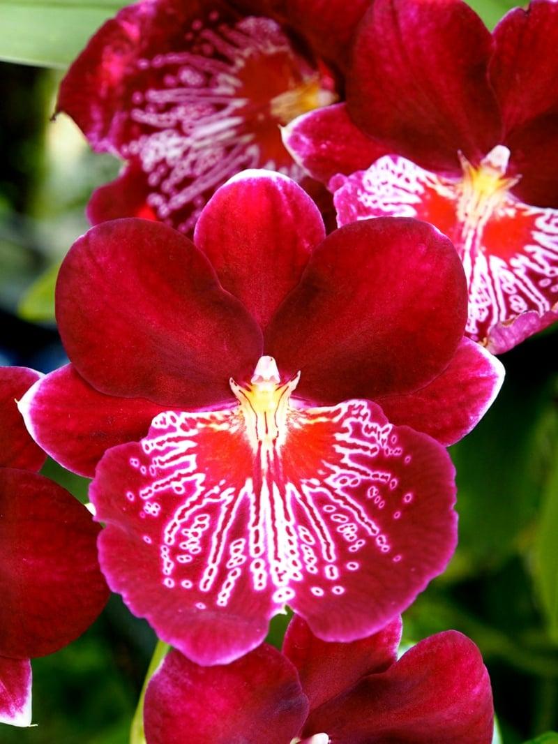 Orchideen Blüten rot groß