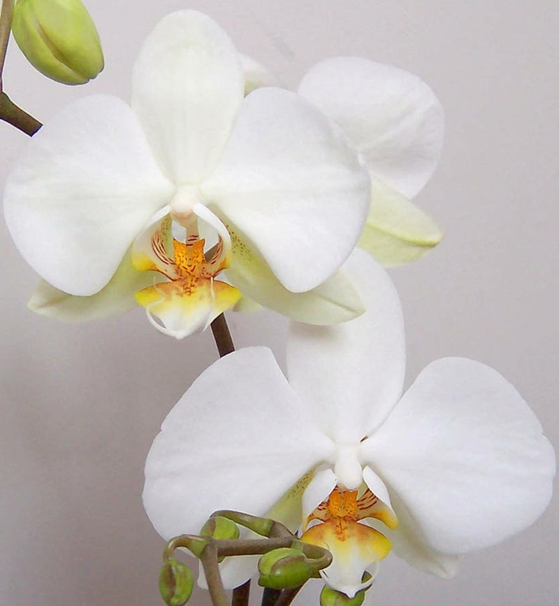 Orchidee Pflegetipps