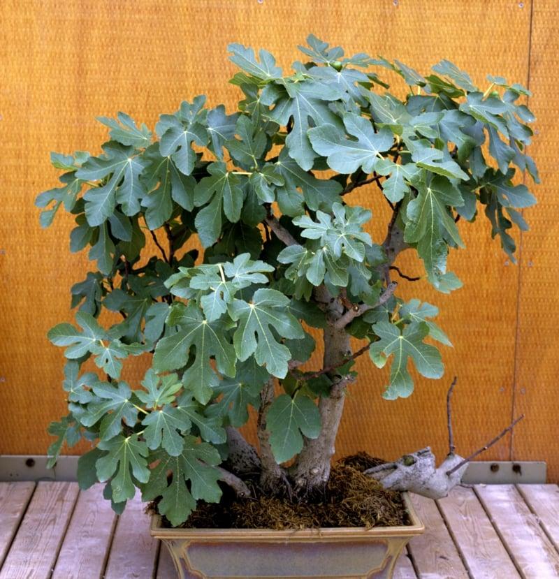 Feigenbaum Pflanzkübel
