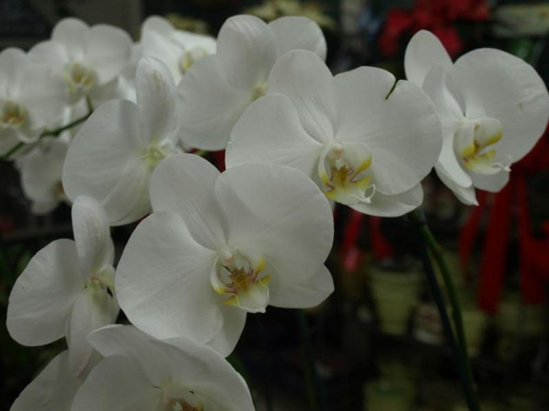 weiße Orchideen wunderschön