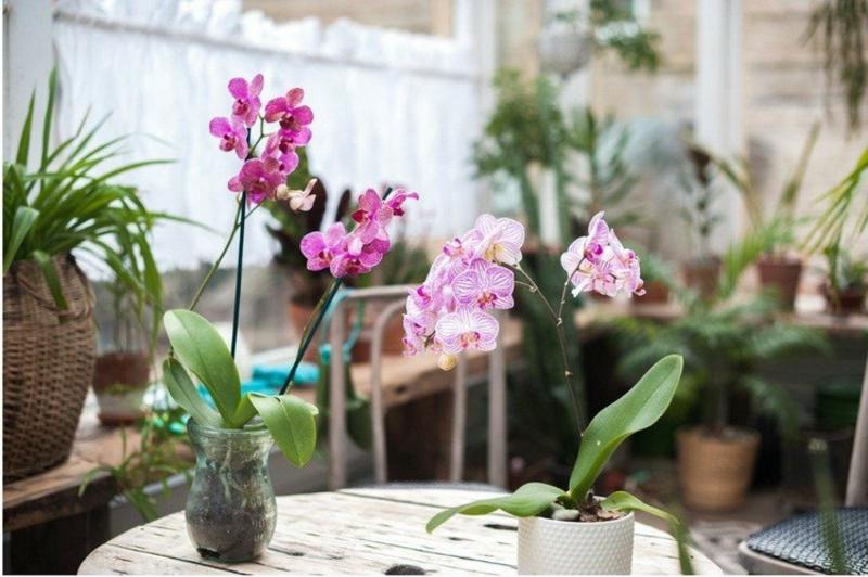 kleinwüchsige Orchidee Pflegetipps