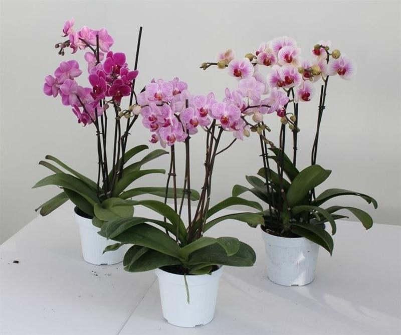 rosa Orchideen kleinwüchsig
