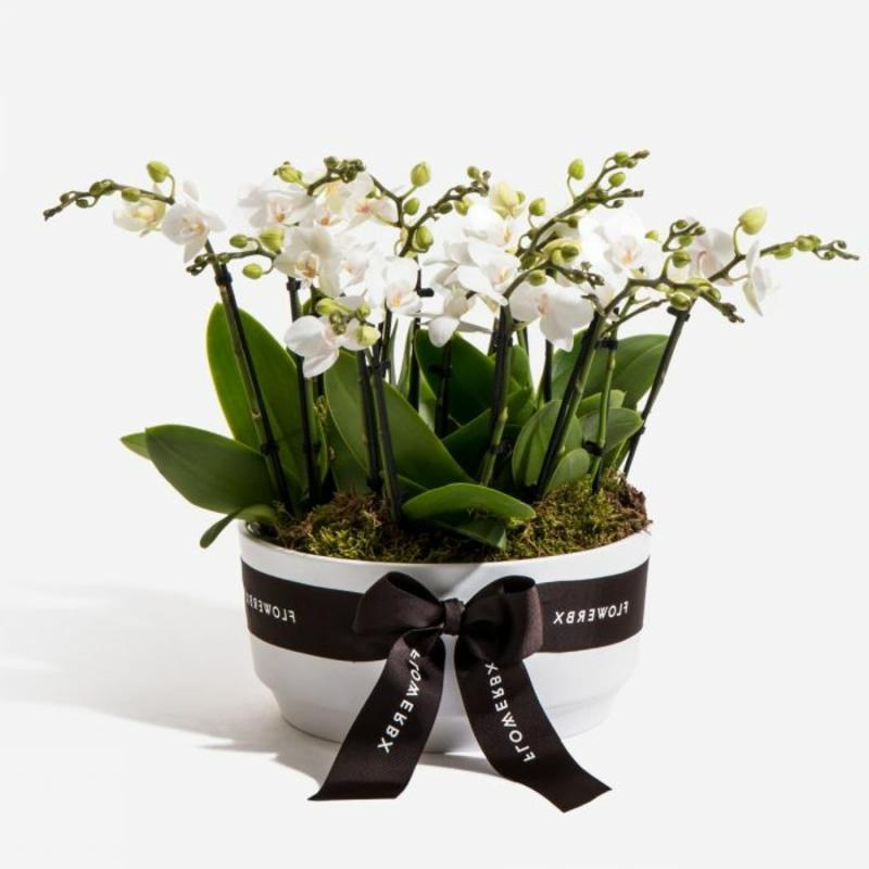 Mini Orchidee herrliches Geschenk