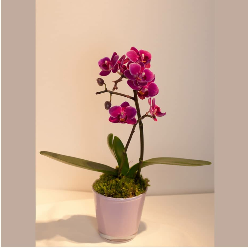 herrliche Orchidee in Dunkelrosa