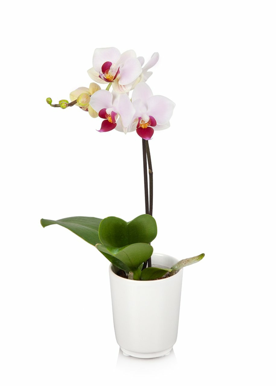 weiße Orchidee in Blumentopf