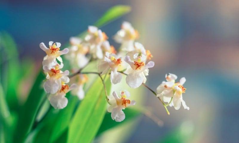 Orchideenblüten hellgelb