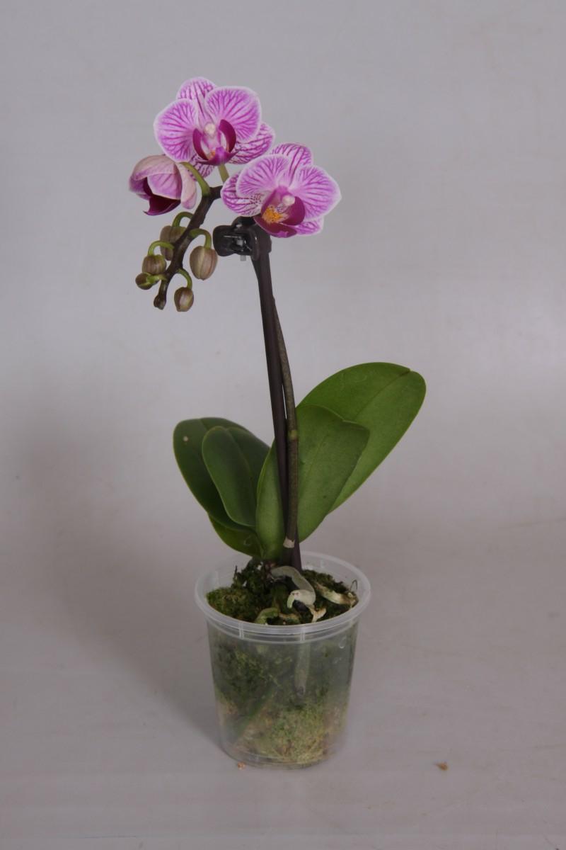 Minii Orchidee düngen