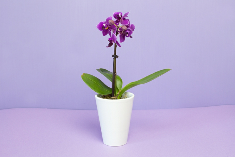 Mini Orchidee in Violett