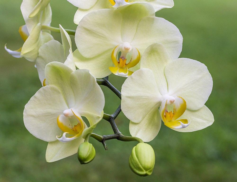 wunderschöne Orchidee weiß