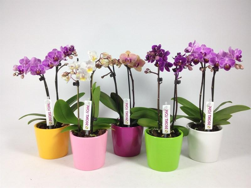 Mini Orchidee mit Wasser versorgen