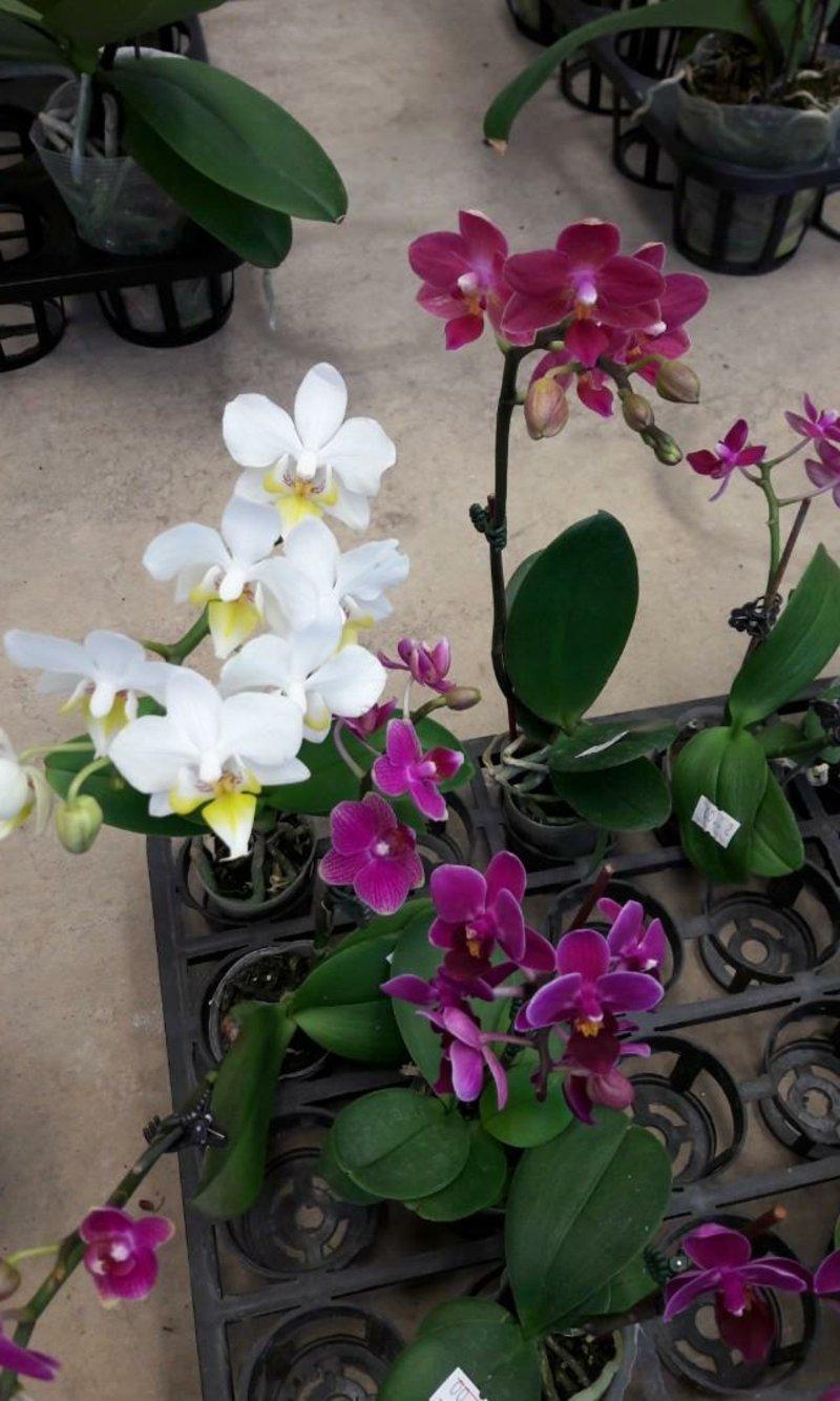 Mini Orchidee richtig pflegen
