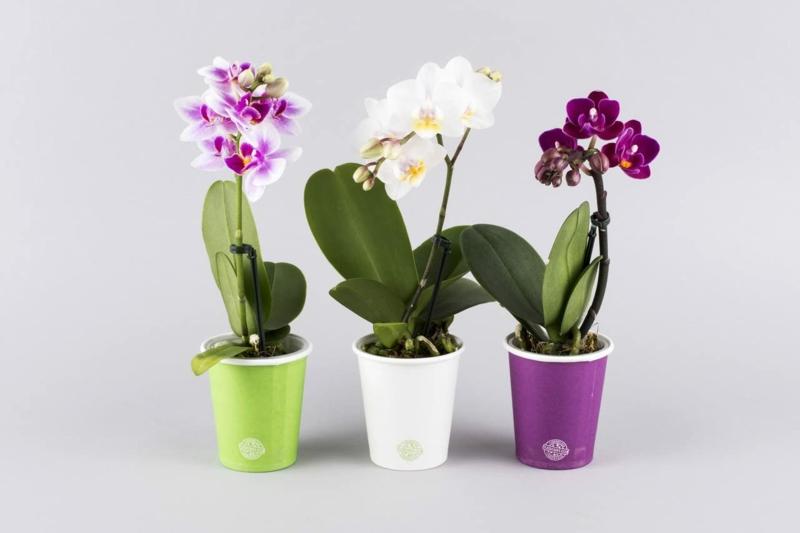 Orchideen herrlicher Look