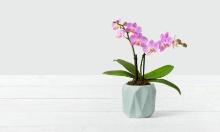 Mini Orchidee Pflegetipps