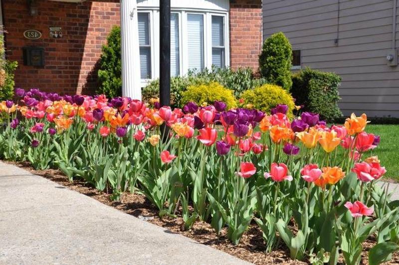 Beet mit Tulpen schmal herrlicher Look