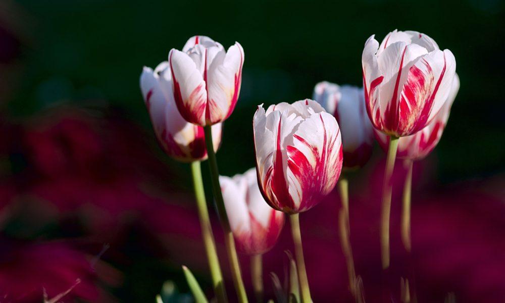 Blumenzwiebeln pflanzen - Tipps