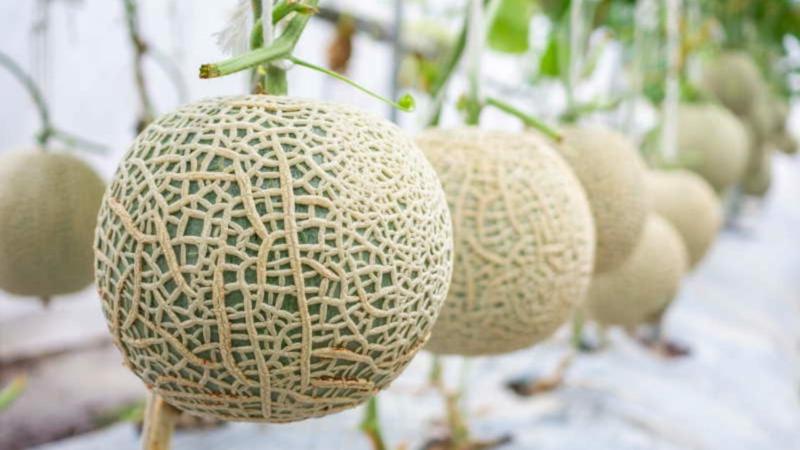 Melone schneiden japanische Melone