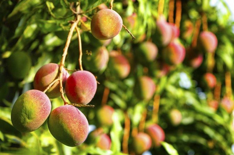 Mangos reif Fruchtbaum