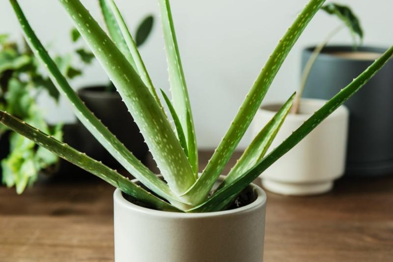 Sukkulenten Arten Aloe Vera