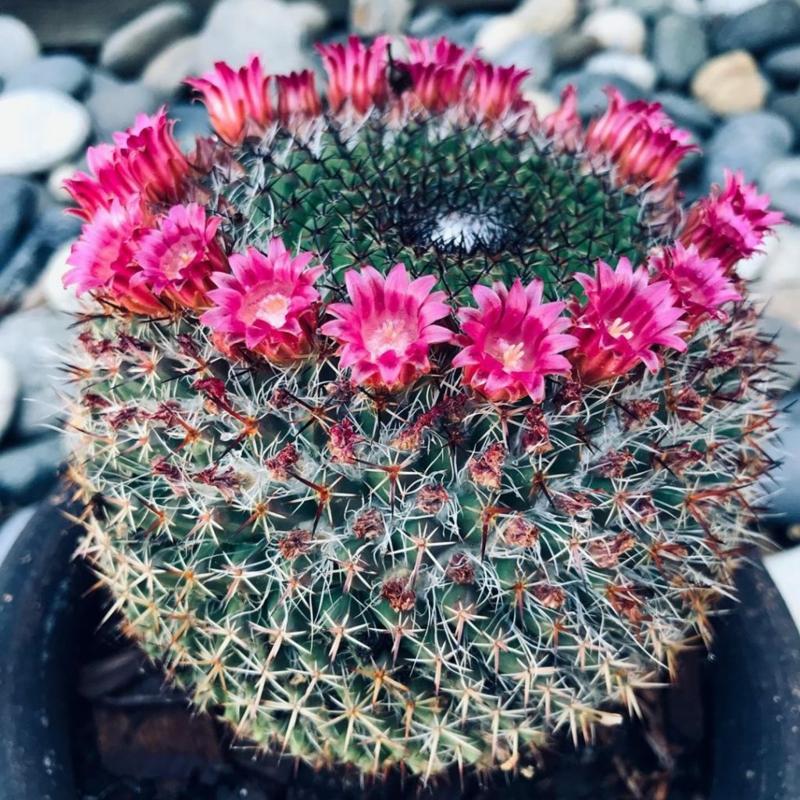 Mammillaria Kaktus
