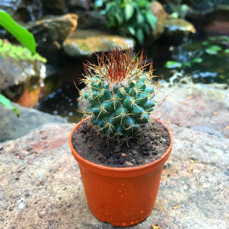 Sukkulenten Arten Kaktus Blumentopf