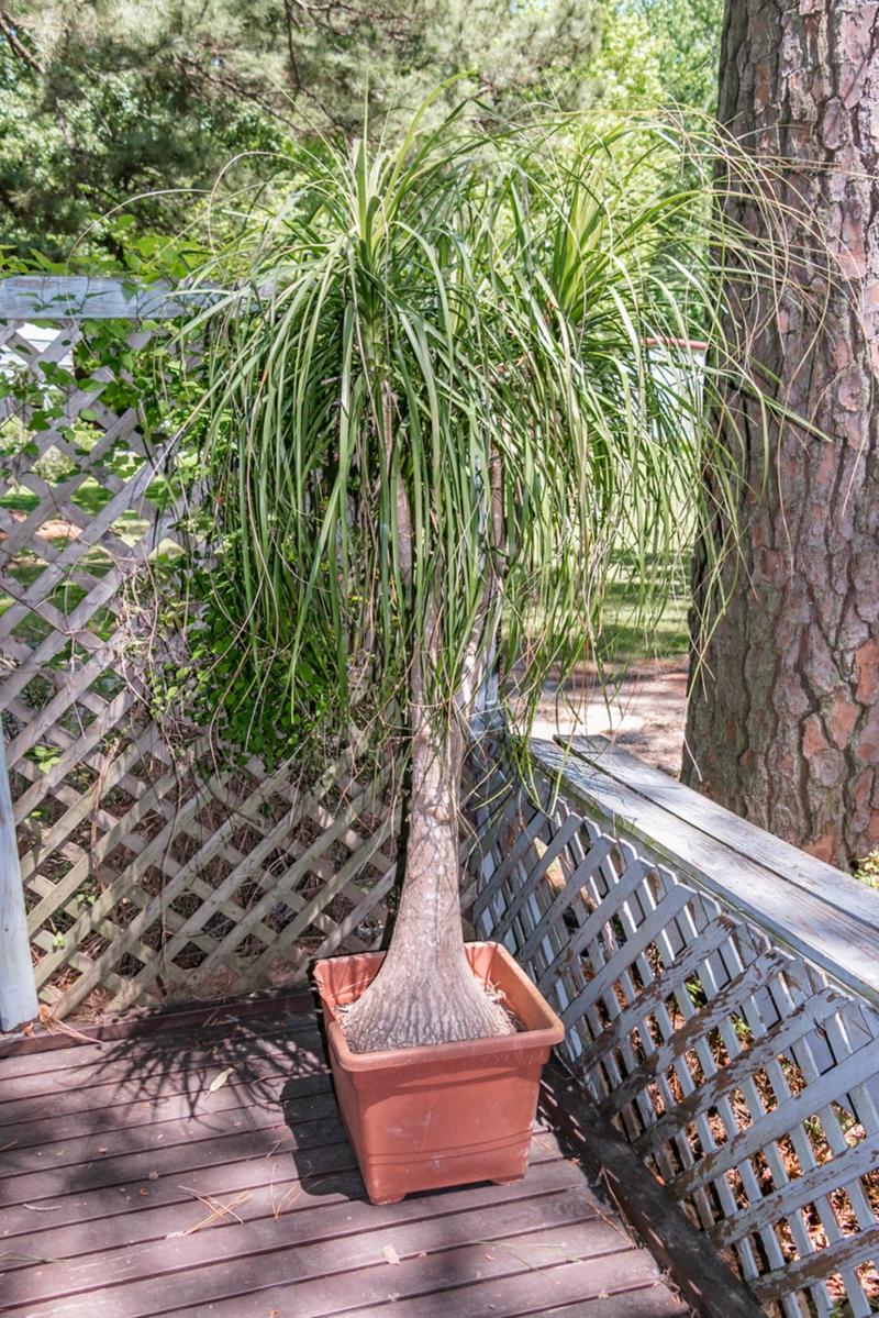 Pferdeschwanz-Palme pflegeleicht