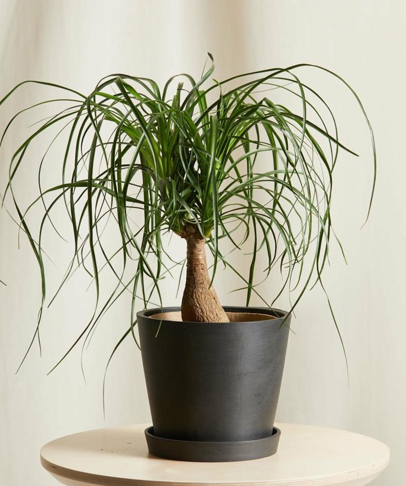 beliebte Sukkulenten Arten Palme dekorativ