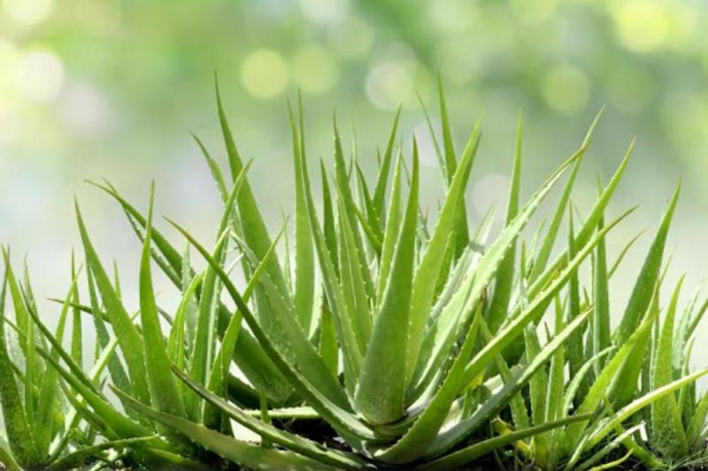 Aloe Vera für schöne Haut