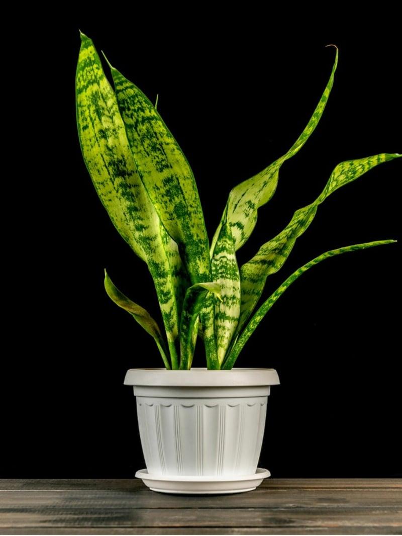 schöne Zimmerpflanzen Schlangenpflanze