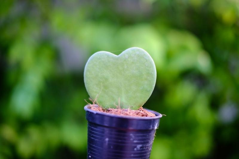 Pflegetipps Sweetheart Hoya